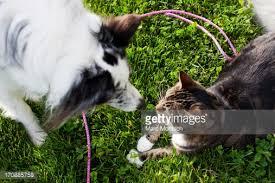 cat with australian shepherd an australian shepherd dog and a shorthair tabby cat playing stock
