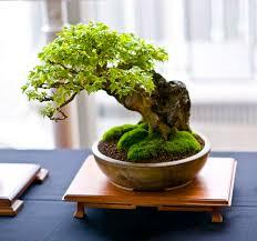 best 25 bonsai tree care ideas on bonsai tree near me