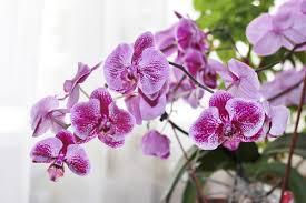 Indoor Fragrant Plants 5 Essentials To Growing Orchids Indoors Plantscapers