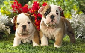 high quality dogs wallpaper full hd pictures
