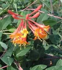 Fragrant Climbing Plant - evergreen honeysuckle plants ebay
