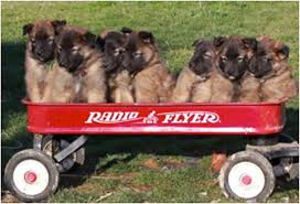 belgian sheepdog poodle mix 16 ways a belgian tervuren makes the world a happier place