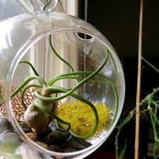hanging air plant terrarium roselawnlutheran