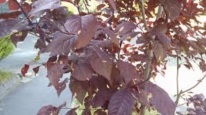thundercloud purple plum leaf disease ask an expert