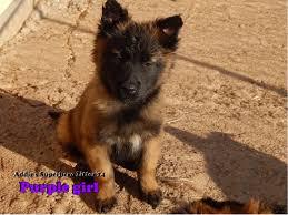 belgian sheepdog massachusetts untitled page