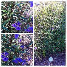 Identify Flowers - purple flower identification help please flowers forums