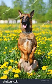 belgian shepherd dog malinois obedient belgian shepherd dog malinois sitting stock photo
