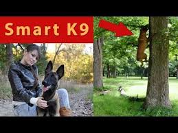 belgian shepherd youtube 1926 best malinois images on pinterest belgian malinois belgian