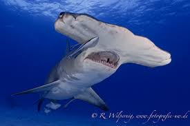 hammerhead tiger shark divers uae