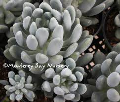 monterey bay nursery plants p
