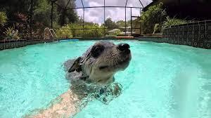 australian shepherd swimming video australian cattle dog blue heeler puppy swimming happily