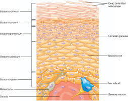 Anatomy And Physiology Cells And Tissues Layers Of The Skin Anatomy And Physiology