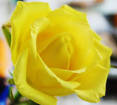 beautiful yellow rose flowers wallpapers images free download 1440