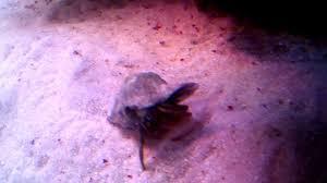 hermit crab eating shrimp youtube