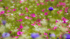 Flower Field Wallpaper - flowers tag wallpapers page 7 blurring purple pink flowers field