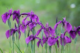 free photo iris purple irises garden flowers free image on