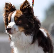 australian shepherd pomeranian mix 12 best aussie pom love images on pinterest aussies