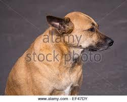 boxer dog female cute female boxer dog stock photos u0026 cute female boxer dog stock