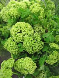 Lime Green Flowers - 24 best visits from our san francisco flower market images on