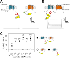 atomic mutagenesis in ion channels with engineered stoichiometry