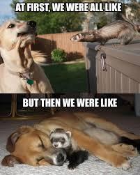 Ferret Meme - dog meets ferret