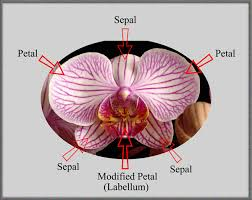 What Is An Orchid Flower - mic uk a close up view of a moth orchid