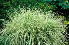 best ornamental grasses for privacy