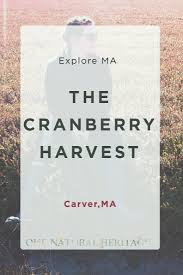 cranberry picking in carver ma our natural heritage