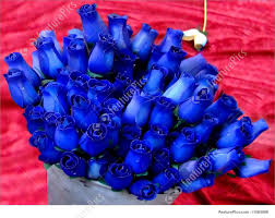 color roses blue roses picture