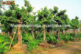 big medium small size outdoor ornamental foliage