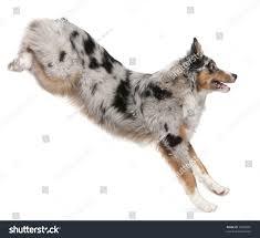 australian shepherd puppy 4 months australian shepherd dog jumping 7 months stock photo 70300081