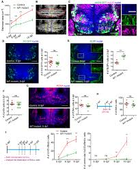 lef1 dependent hypothalamic neurogenesis inhibits anxiety