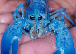 how rare are bright blue lobsters bbc news