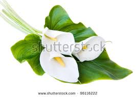 white calla white calla stock images royalty free images vectors