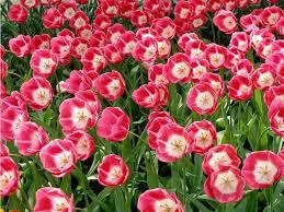 wallpaper bunga tulip beautiful tulips wallpapers hd wallpaper 1920 1080 tulips images