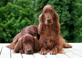 types of setter dog breeds irish red and white setter dog breed information pictures