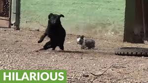 bunny rabbit chases dog around the yard youtube