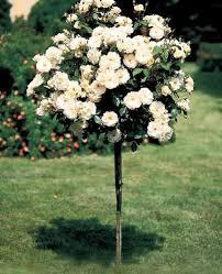 White Roses For Sale 25 Best Rose Trees Ideas On Pinterest Knockout Rose Tree