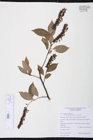 native plants of alabama itea virginica species page isb atlas of florida plants