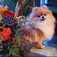 colorful chihuahua indian happy thanksgiving