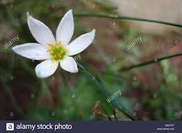Rain Lily A White Rain Lily White Fairy Lily White Zephyr Lily Stock Photo