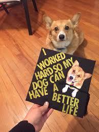 dog graduation cap corgi gold glitter dog grad cap baylor graduation