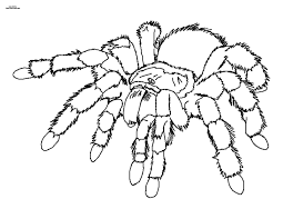 tarantula coloring page hairy legged tarantula coloring page