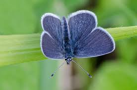 small blue butterfly in most blue butterflies the femal flickr