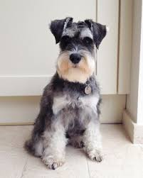 schnauzers hair cuts 12 best dogs need haircuts images on pinterest schnauzer