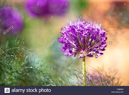 allium purple sensation stock photos allium purple sensation