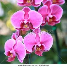 Orchid Flower Pic - phalaenopsis stock images royalty free images u0026 vectors