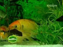 feature on ornamental fish rearing fish galaxy aquarium