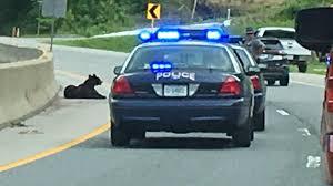 23 reopens crash involving bear officials euthanize bear