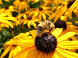 free stock photos of honey bee pexels